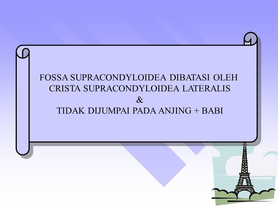 FOSSA SUPRACONDYLOIDEA DIBATASI OLEH CRISTA SUPRACONDYLOIDEA LATERALIS