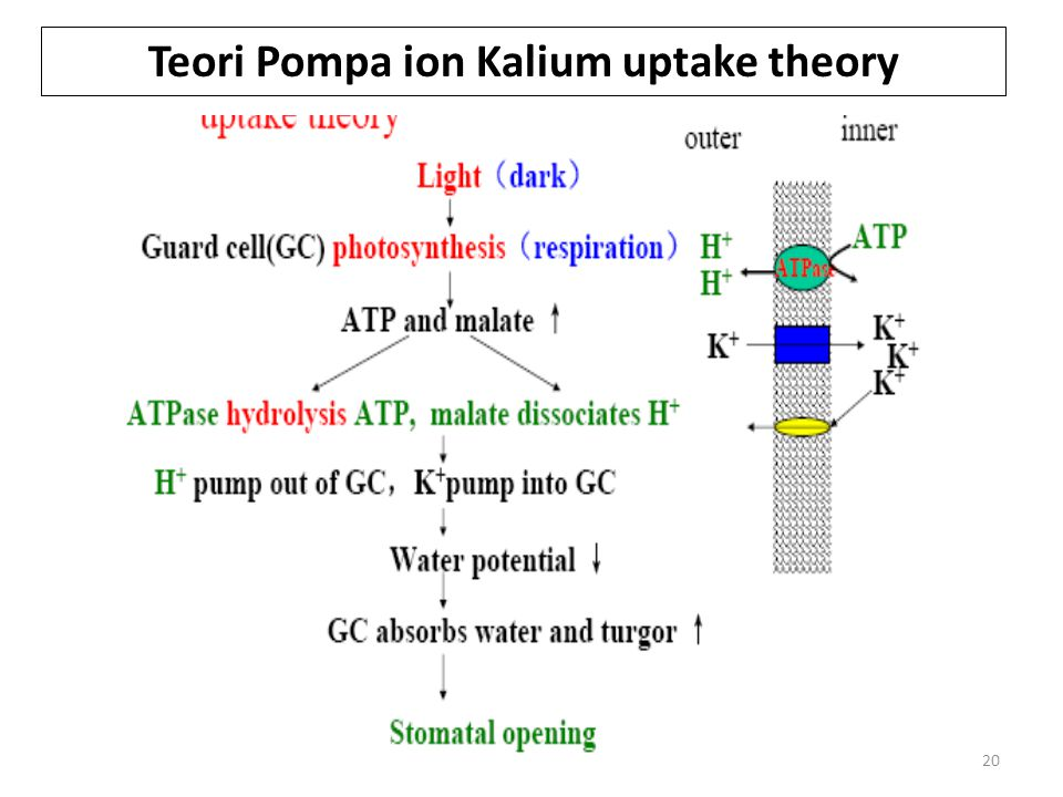 Teori Pompa ion Kalium uptake theory