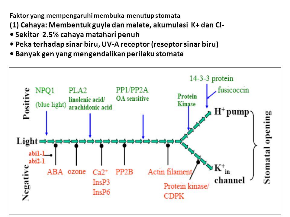 (1) Cahaya: Membentuk guyla dan malate, akumulasi K+ dan Cl-