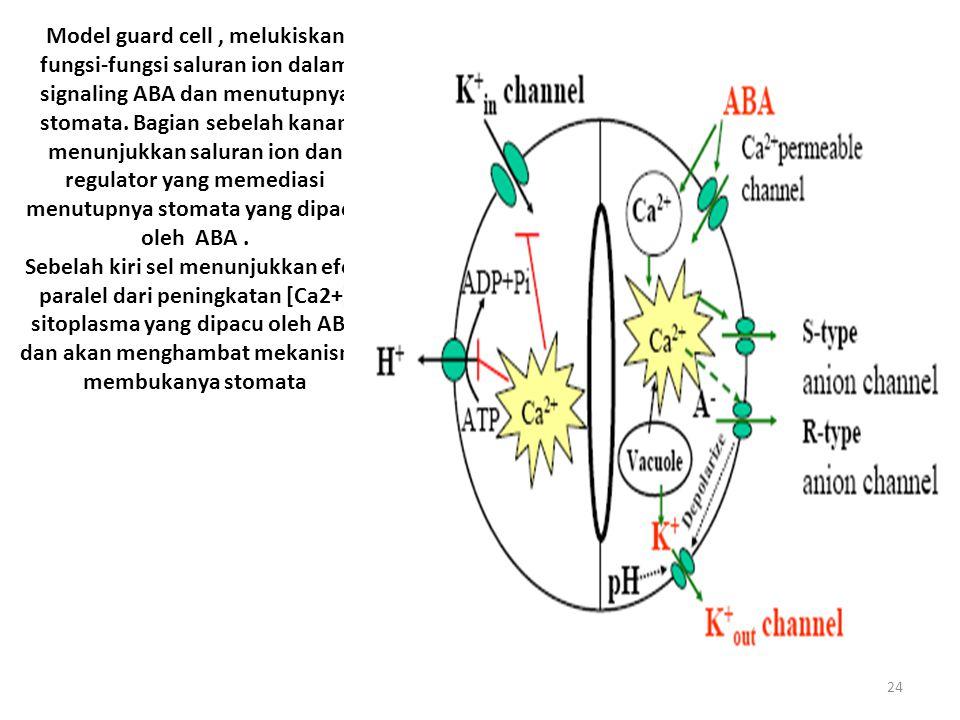 Model guard cell , melukiskan fungsi-fungsi saluran ion dalam signaling ABA dan menutupnya stomata. Bagian sebelah kanan menunjukkan saluran ion dan regulator yang memediasi menutupnya stomata yang dipacu oleh ABA .