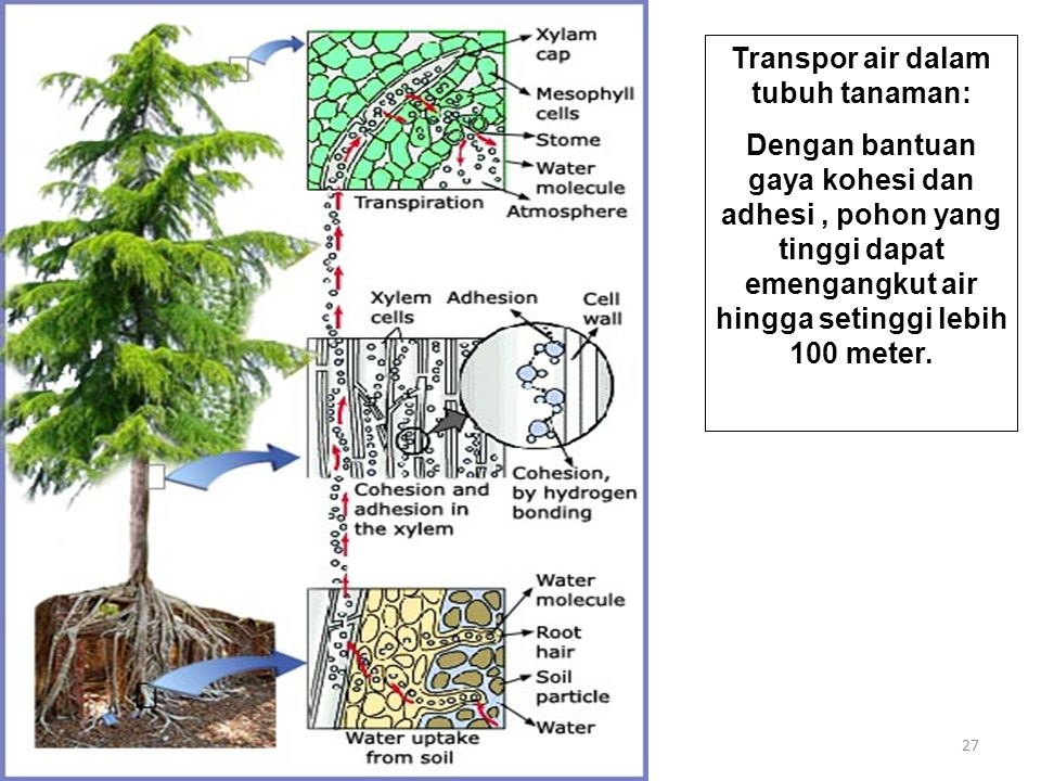 Transpor air dalam tubuh tanaman: