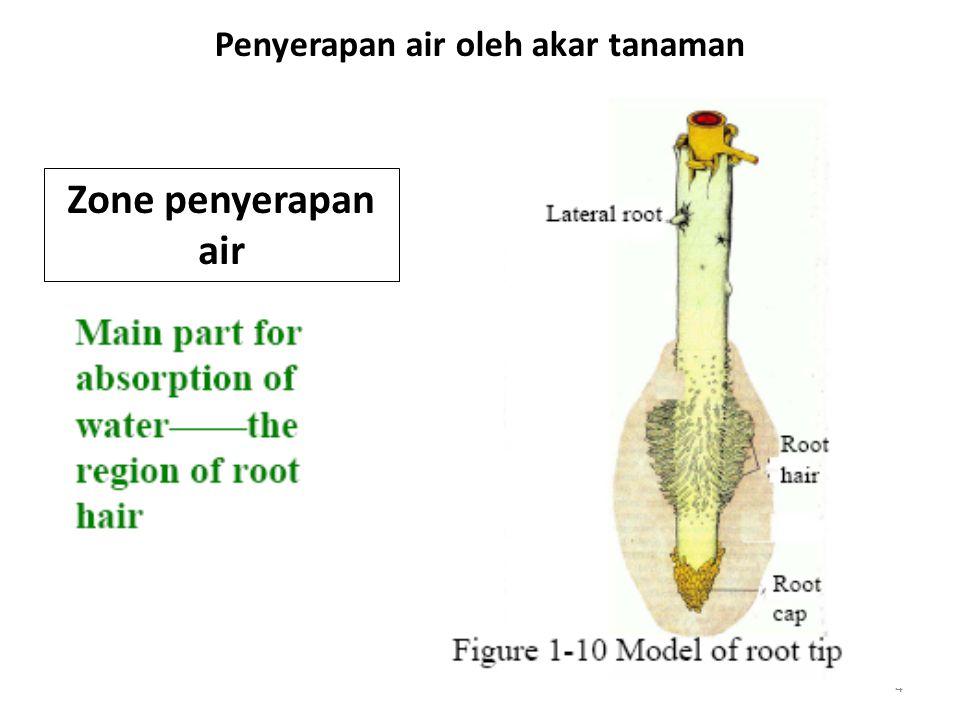 Penyerapan air oleh akar tanaman