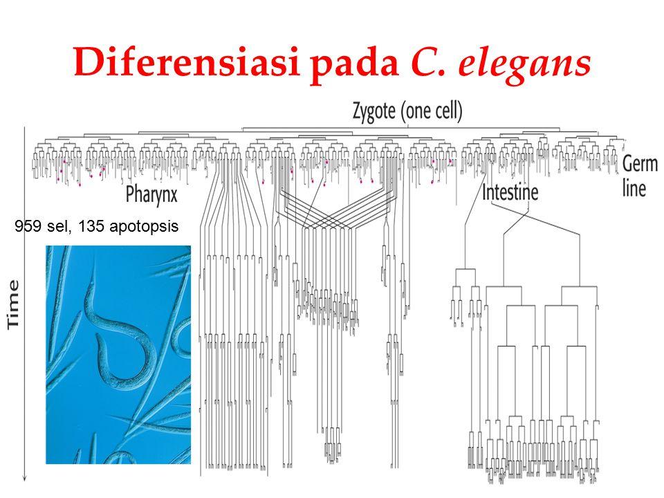 Diferensiasi pada C. elegans