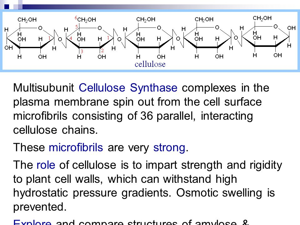 Multisubunit Cellulose Synthase complexes in the plasma membrane spin out from the cell surface microfibrils consisting of 36 parallel, interacting cellulose chains.