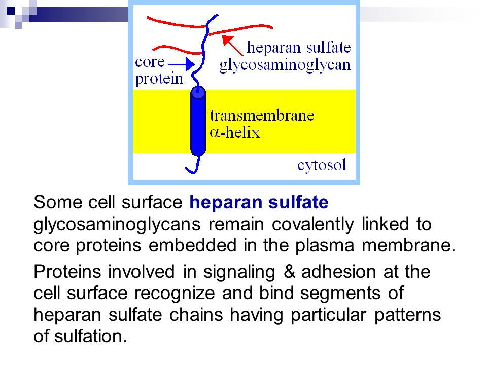 Some cell surface heparan sulfate glycosaminoglycans remain covalently linked to core proteins embedded in the plasma membrane.
