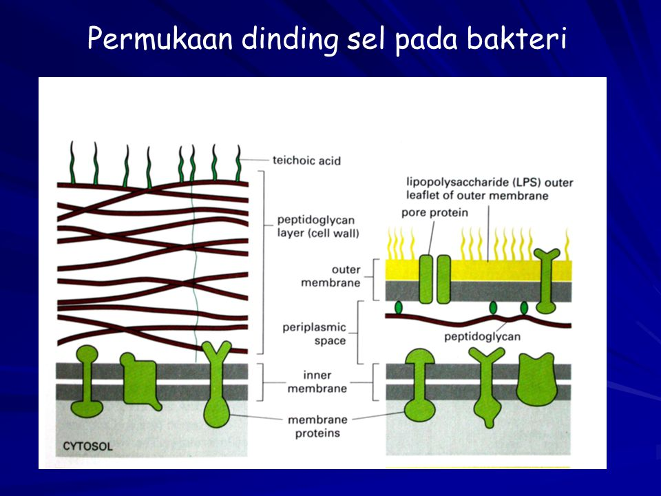 Organel sel ppt download 11 permukaan ccuart Images