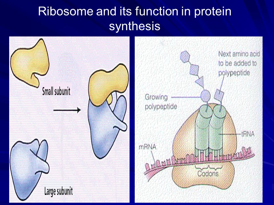 Ribosome and its function in protein synthesis