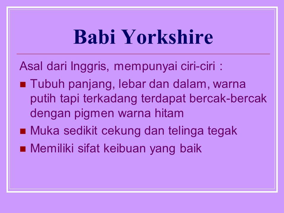 Babi Yorkshire Asal dari Inggris, mempunyai ciri-ciri :