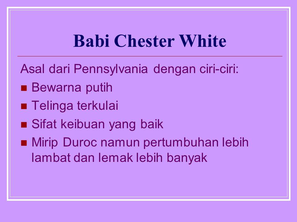 Babi Chester White Asal dari Pennsylvania dengan ciri-ciri: