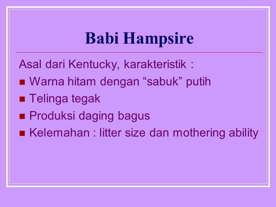 Babi Hampsire Asal dari Kentucky, karakteristik :