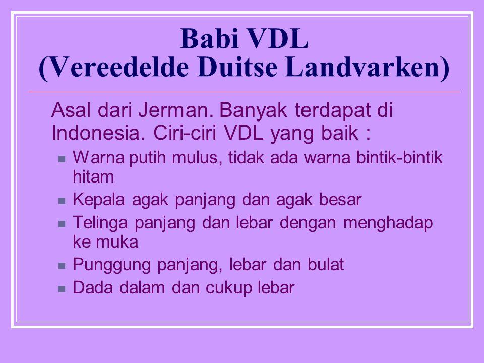 Babi VDL (Vereedelde Duitse Landvarken)