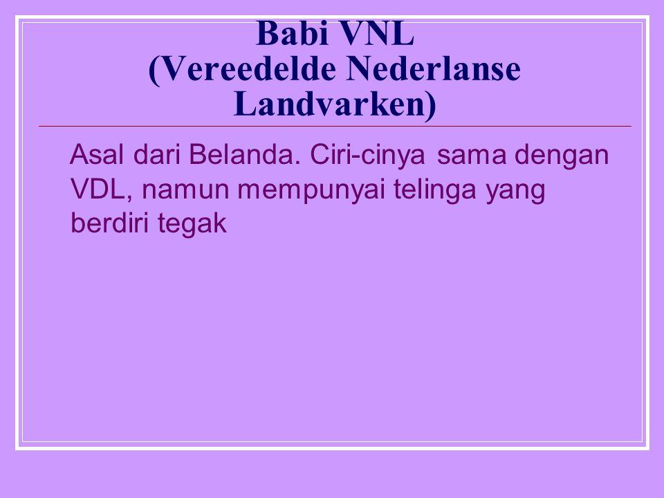 Babi VNL (Vereedelde Nederlanse Landvarken)