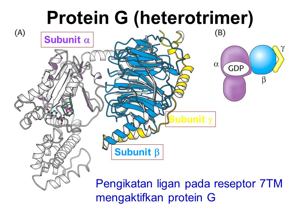 Protein G (heterotrimer)