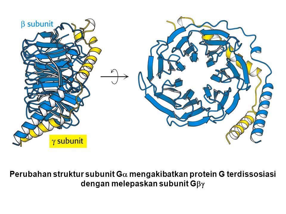 Perubahan struktur subunit Ga mengakibatkan protein G terdissosiasi dengan melepaskan subunit Gbg