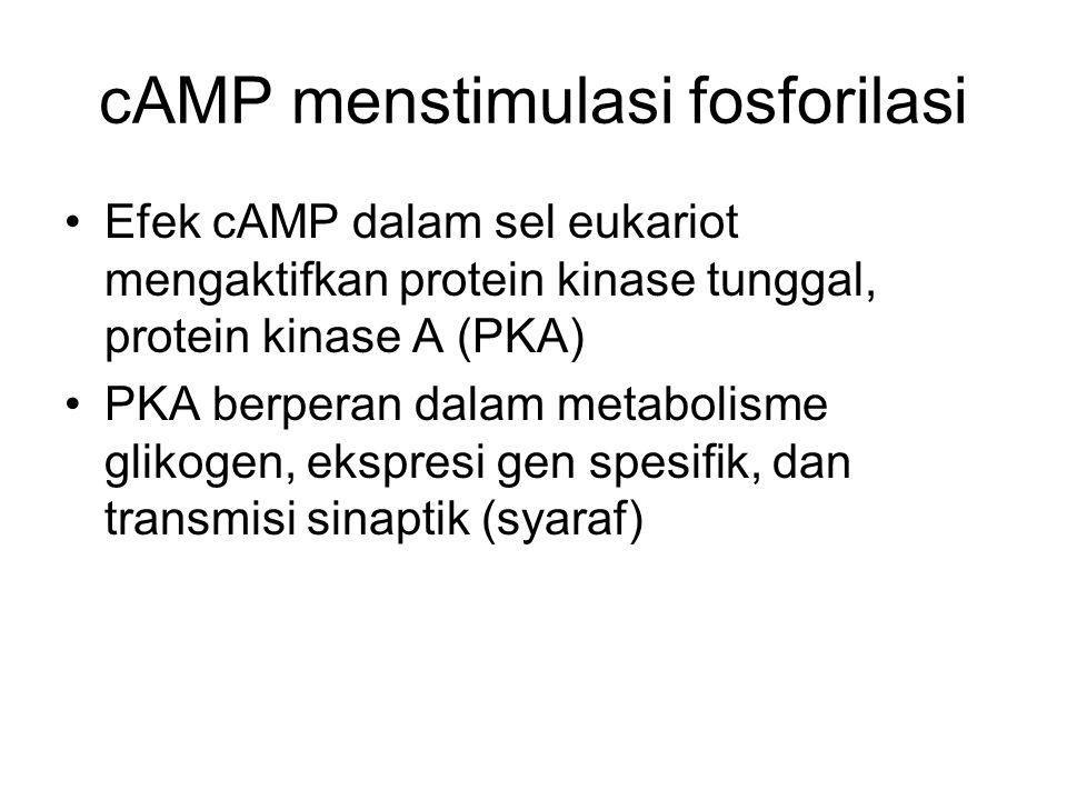 cAMP menstimulasi fosforilasi