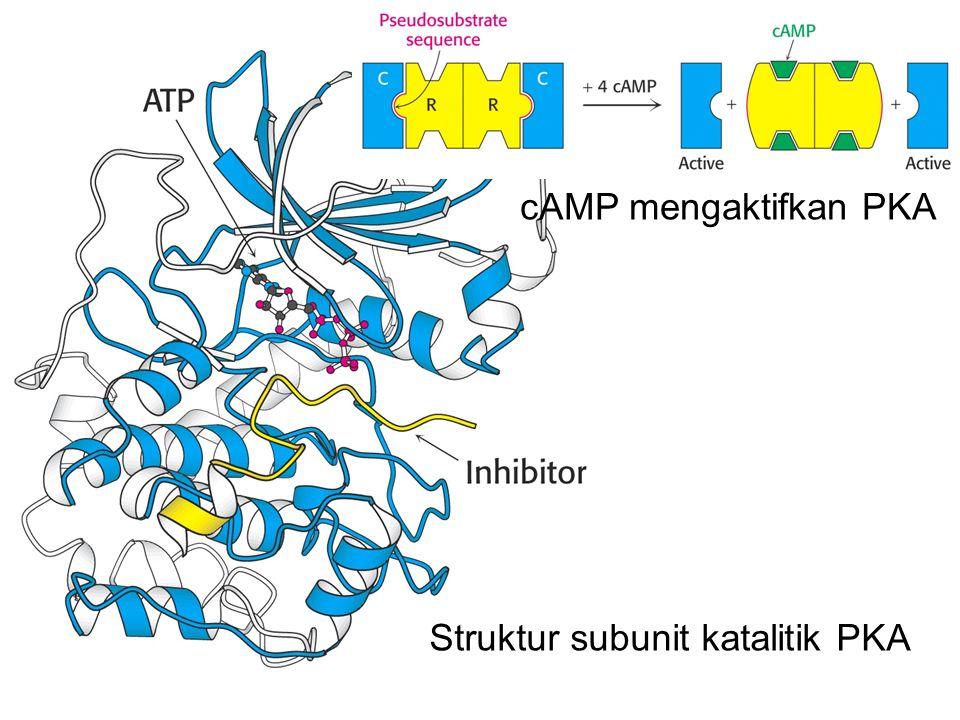 cAMP mengaktifkan PKA Struktur subunit katalitik PKA