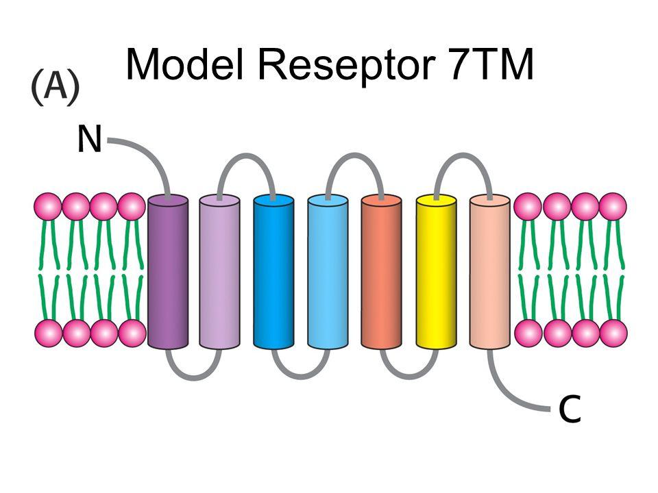 Model Reseptor 7TM