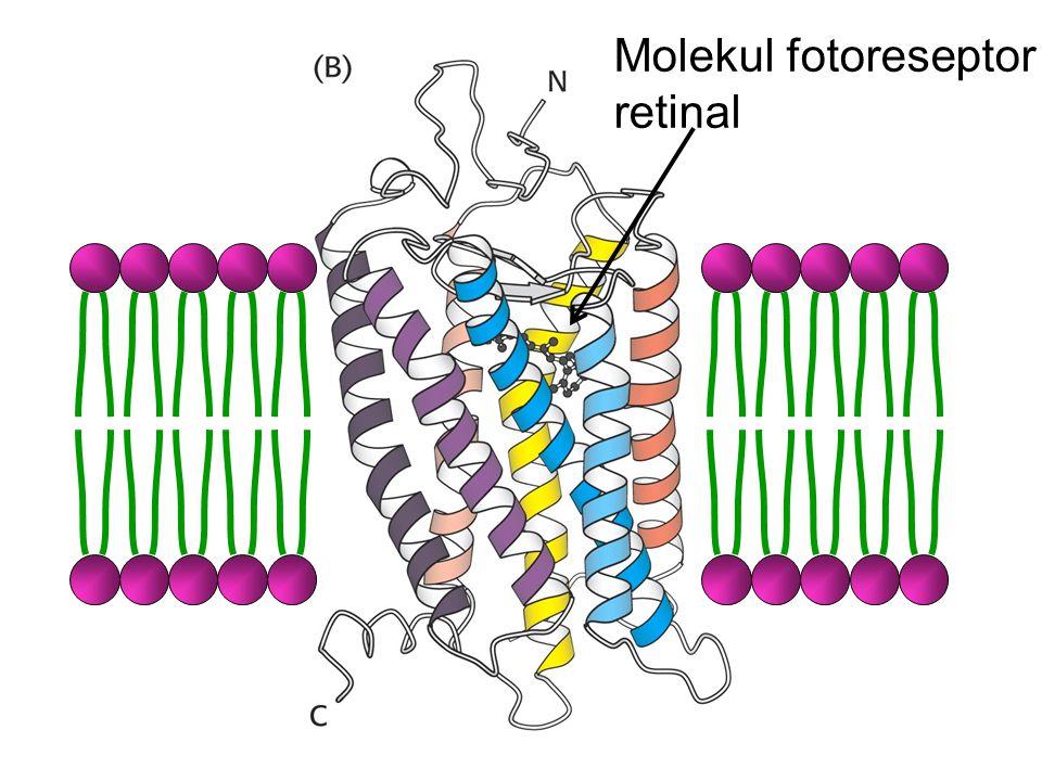 Molekul fotoreseptor retinal
