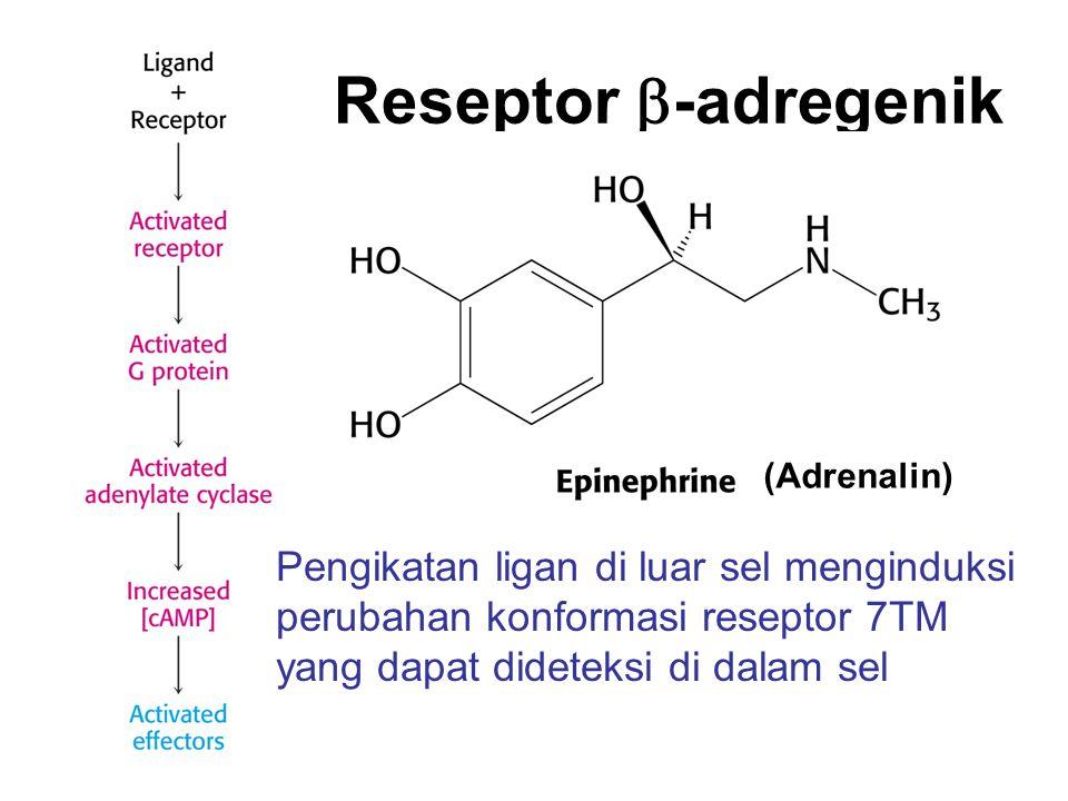 Reseptor b-adregenik (Adrenalin) Pengikatan ligan di luar sel menginduksi perubahan konformasi reseptor 7TM yang dapat dideteksi di dalam sel.