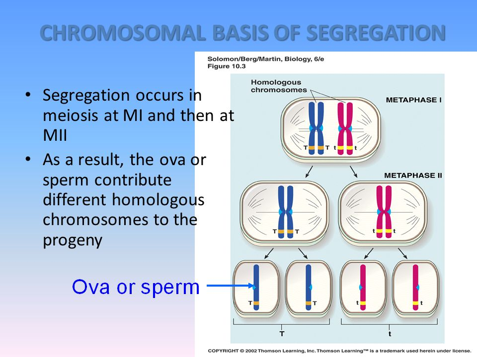 CHROMOSOMAL BASIS OF SEGREGATION