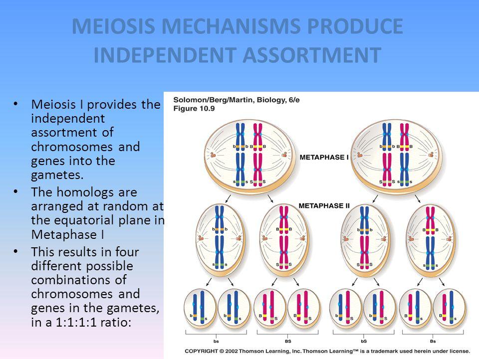 MEIOSIS MECHANISMS PRODUCE INDEPENDENT ASSORTMENT