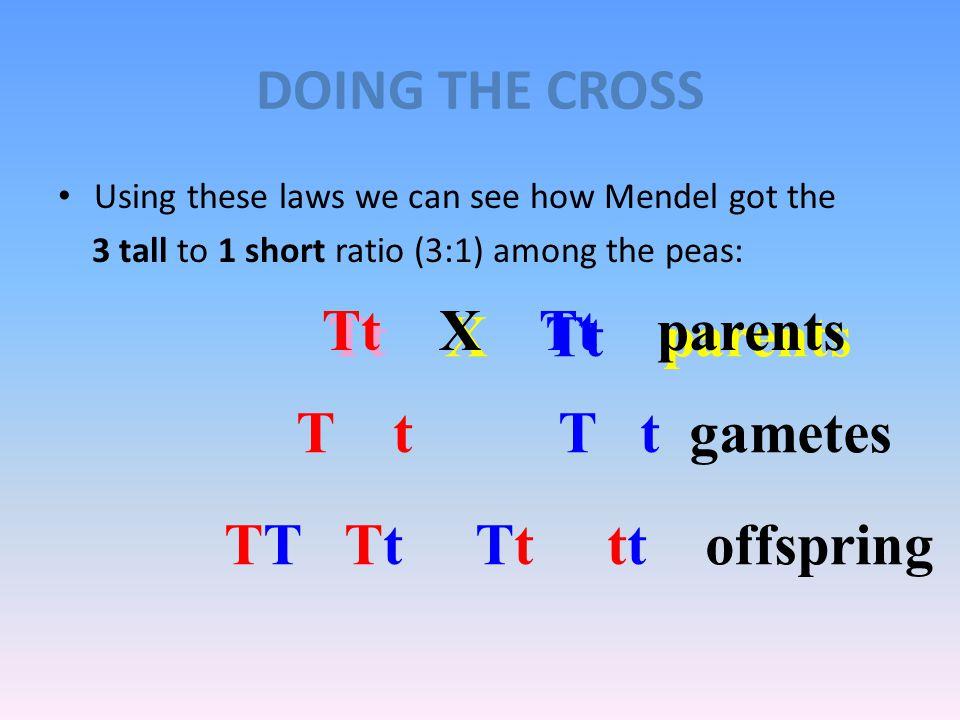 DOING THE CROSS Tt X Tt parents Tt X Tt parents T t T t gametes