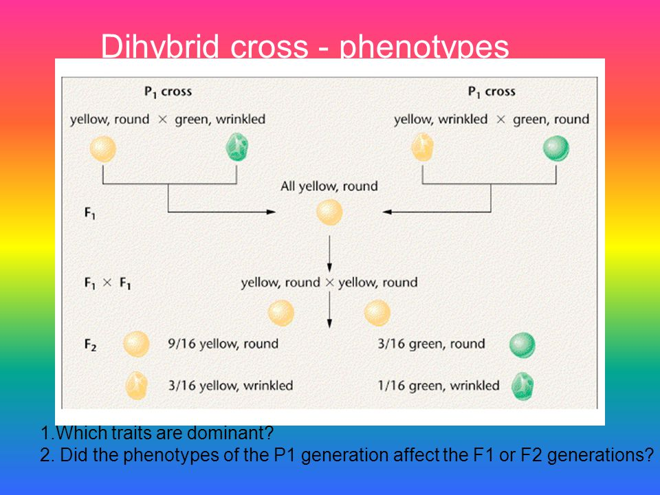 Dihybrid cross - phenotypes
