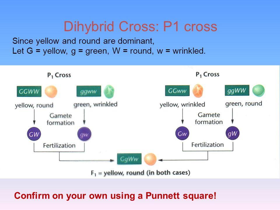 Dihybrid Cross: P1 cross