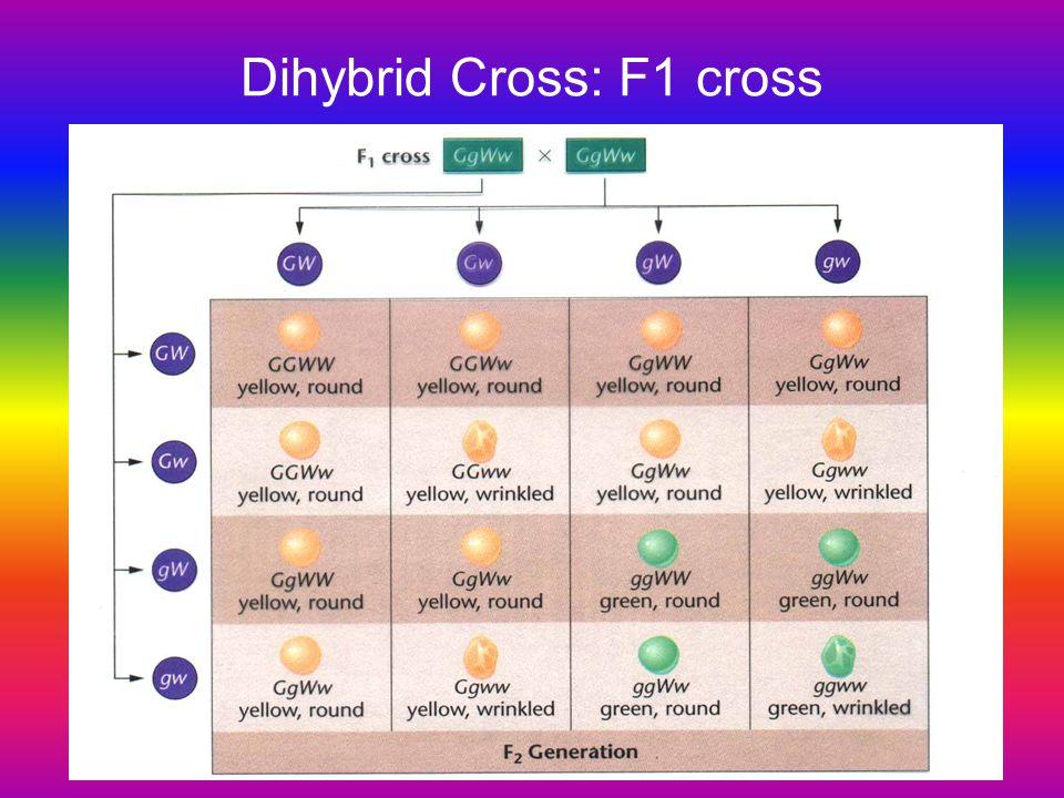 Dihybrid Cross: F1 cross