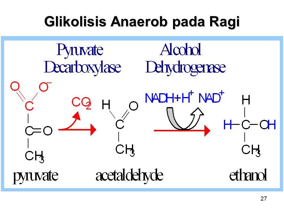 Glikolisis Anaerob pada Ragi