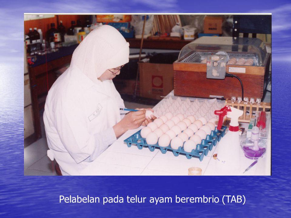 Pelabelan pada telur ayam berembrio (TAB)