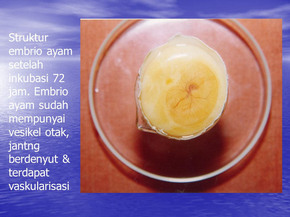 Struktur embrio ayam setelah inkubasi 72 jam