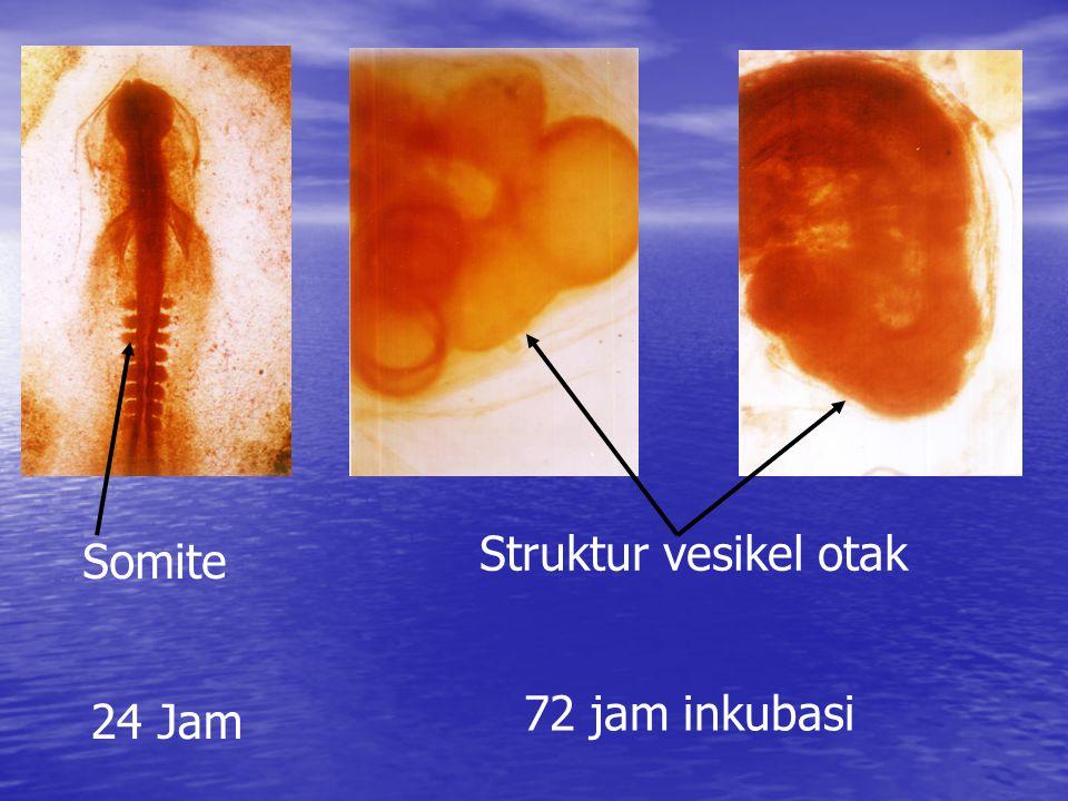 Struktur vesikel otak Somite 72 jam inkubasi 24 Jam