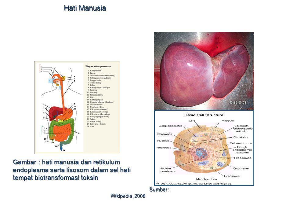 Hati Manusia Gambar : hati manusia dan retikulum endoplasma serta lisosom dalam sel hati tempat biotransformasi toksin.