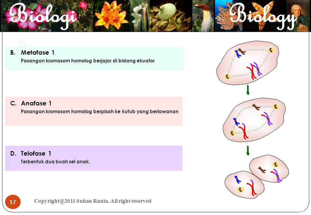 Metafase 1 Anafase 1 Telofase 1