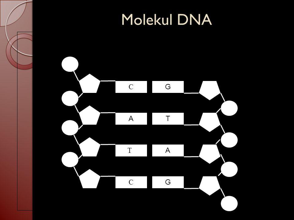 Molekul DNA C G A T TC A C G
