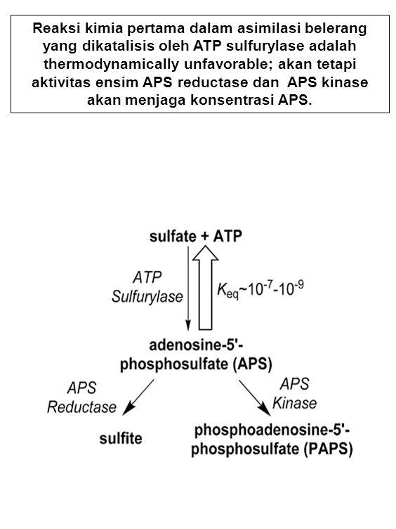 Reaksi kimia pertama dalam asimilasi belerang yang dikatalisis oleh ATP sulfurylase adalah thermodynamically unfavorable; akan tetapi aktivitas ensim APS reductase dan APS kinase akan menjaga konsentrasi APS.