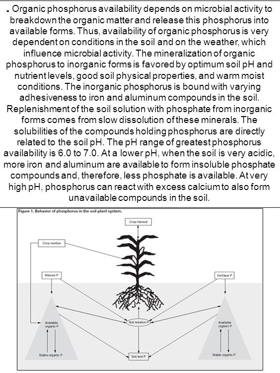 . Organic phosphorus availability depends on microbial activity to breakdown the organic matter and release this phosphorus into available forms. Thus, availability of organic phosphorus is very dependent on conditions in the soil and on the weather, which influence microbial activity. The mineralization of organic phosphorus to inorganic forms is favored by optimum soil pH and nutrient levels, good soil physical properties, and warm moist conditions. The inorganic phosphorus is bound with varying adhesiveness to iron and aluminum compounds in the soil. Replenishment of the soil solution with phosphate from inorganic forms comes from slow dissolution of these minerals. The solubilities of the compounds holding phosphorus are directly related to the soil pH. The pH range of greatest phosphorus availability is 6.0 to 7.0. At a lower pH, when the soil is very acidic, more iron and aluminum are available to form insoluble phosphate compounds and, therefore, less phosphate is available. At very high pH, phosphorus can react with excess calcium to also form unavailable compounds in the soil.