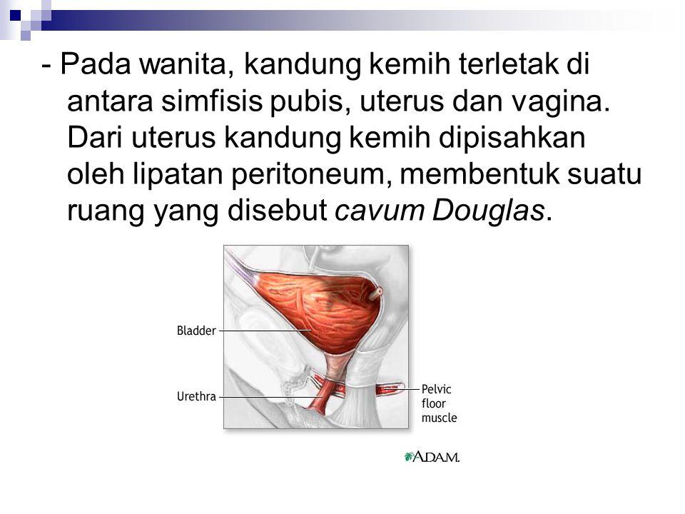 - Pada wanita, kandung kemih terletak di antara simfisis pubis, uterus dan vagina.
