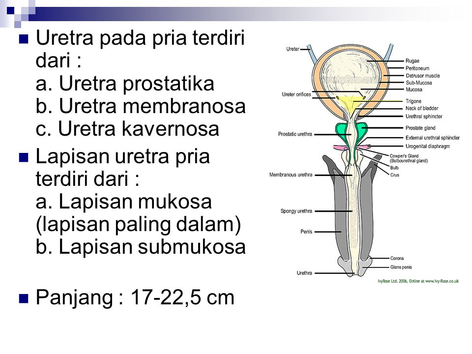 Uretra pada pria terdiri dari : a. Uretra prostatika b