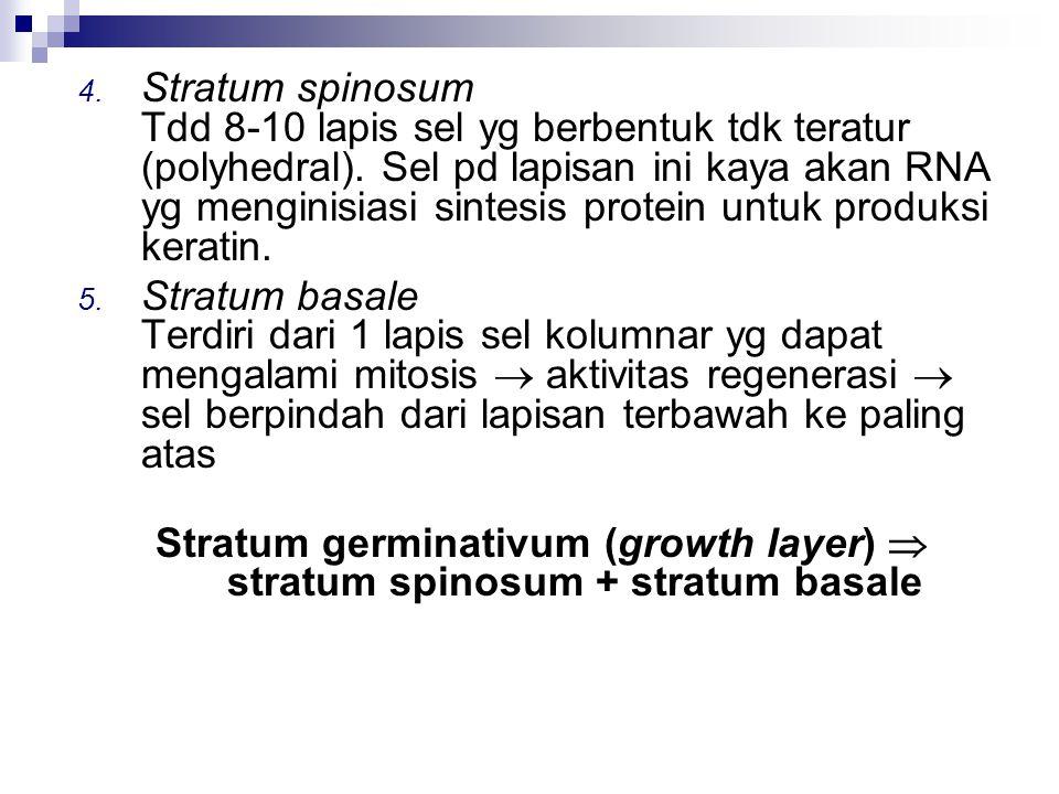Stratum spinosum Tdd 8-10 lapis sel yg berbentuk tdk teratur (polyhedral). Sel pd lapisan ini kaya akan RNA yg menginisiasi sintesis protein untuk produksi keratin.