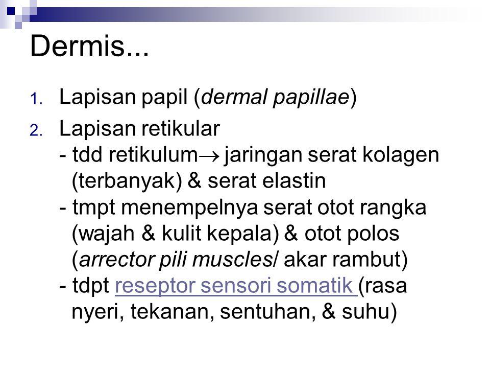 Dermis... Lapisan papil (dermal papillae)