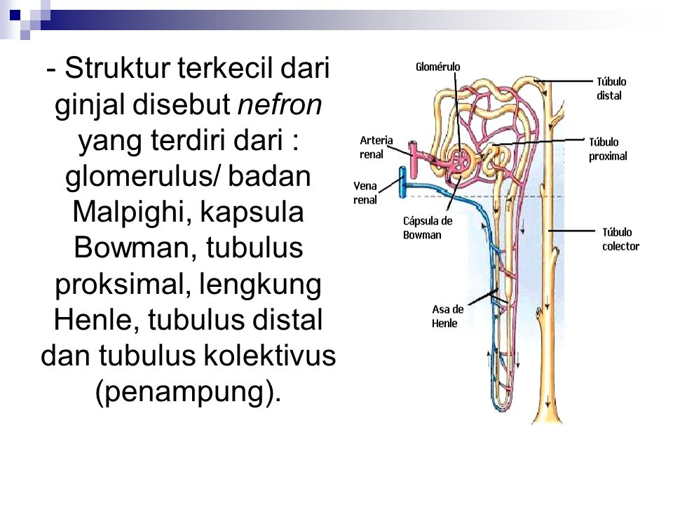- Struktur terkecil dari ginjal disebut nefron yang terdiri dari : glomerulus/ badan Malpighi, kapsula Bowman, tubulus proksimal, lengkung Henle, tubulus distal dan tubulus kolektivus (penampung).