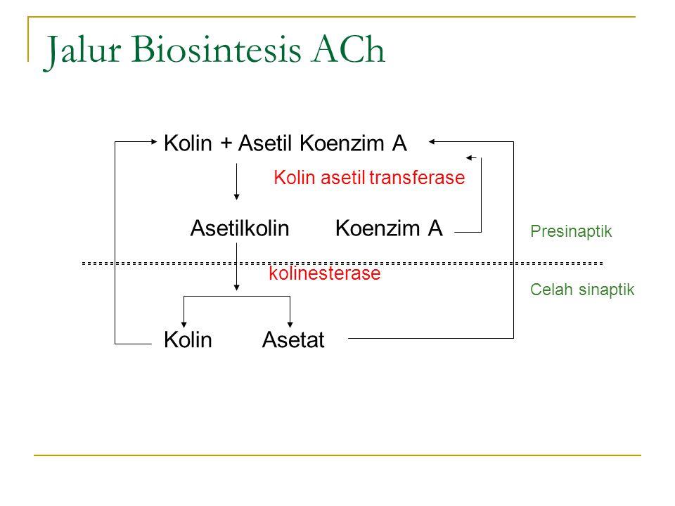 Jalur Biosintesis ACh Kolin + Asetil Koenzim A Asetilkolin Koenzim A