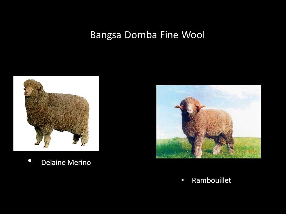 Bangsa Domba Fine Wool Delaine Merino Rambouillet