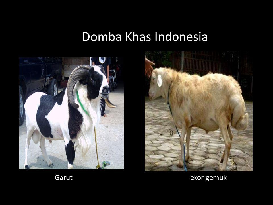 Domba Khas Indonesia Garut ekor gemuk.