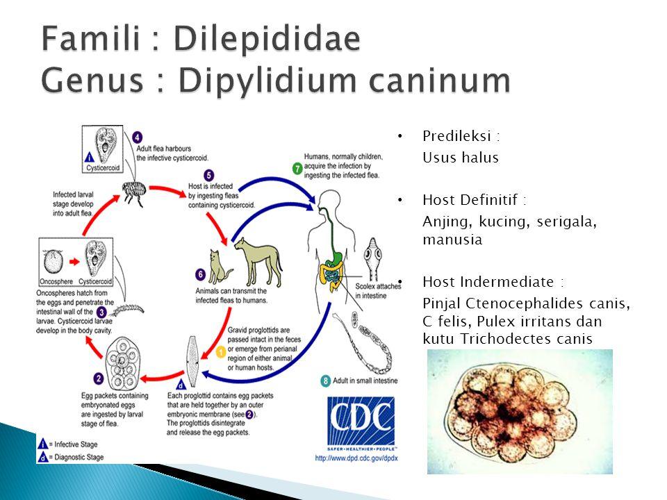 Famili : Dilepididae Genus : Dipylidium caninum