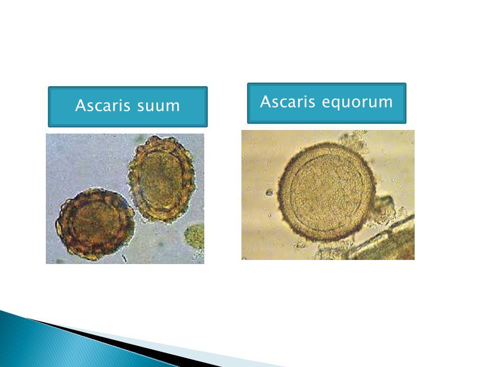 Ascaris equorum Ascaris suum