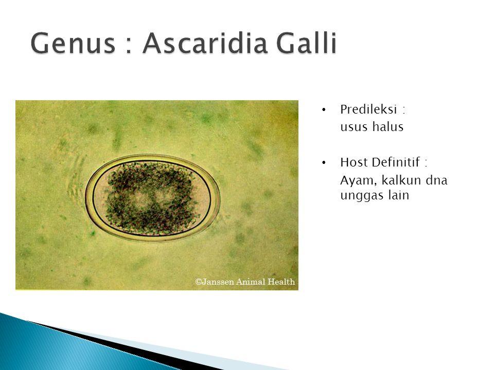 Genus : Ascaridia Galli