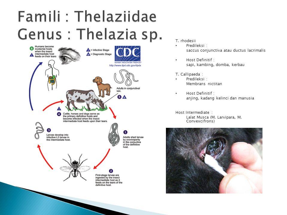 Famili : Thelaziidae Genus : Thelazia sp.